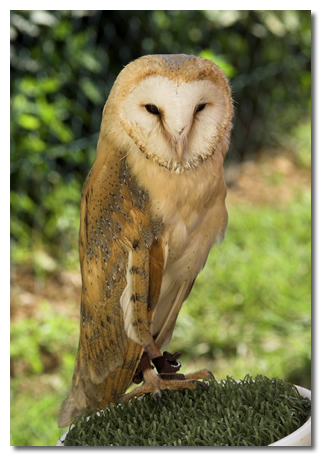 Barn Owl Facts And Information